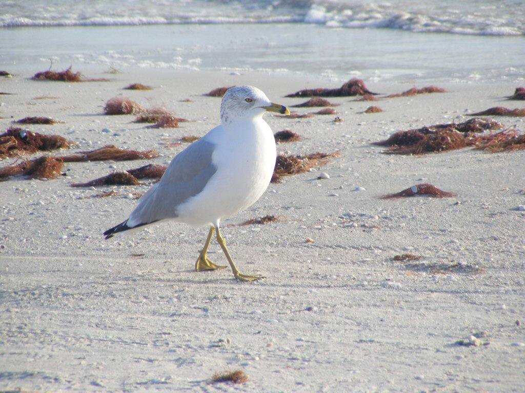Florida Ring Billed Gull walking by on the Beach