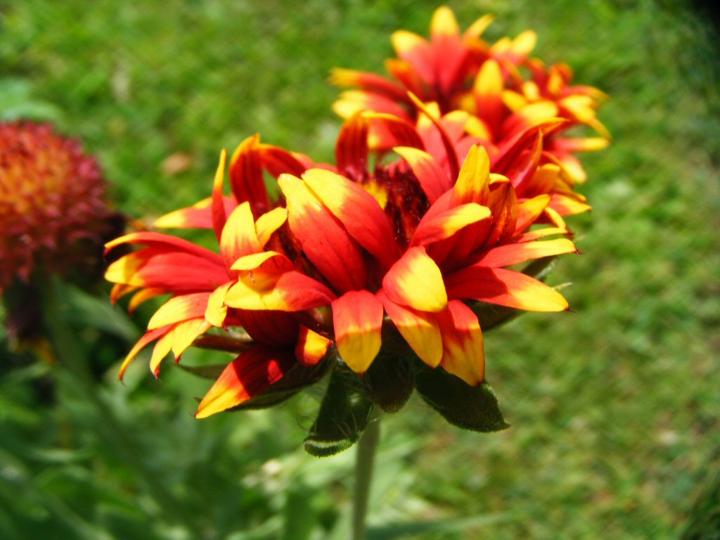 Beautiful close up image of red orange flowers on a sunny day with green backdrop
