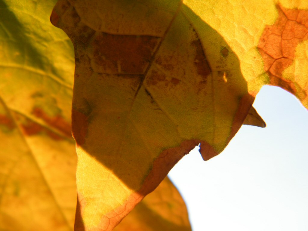 Close Up of a Yellowish-Orange Leaf with the Sky Behind It